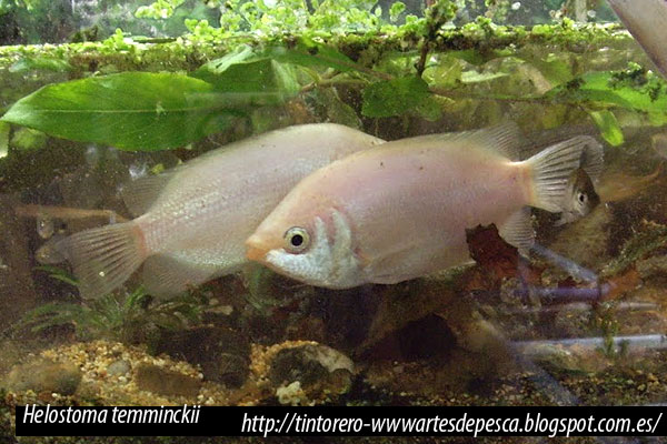 Helostoma temminckii, Gourami besucón