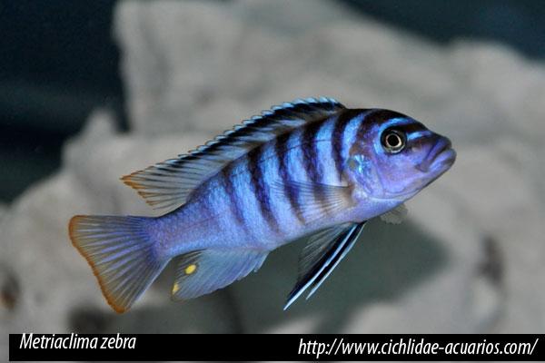 Mbunas Género Pseudotropheus / Metriaclima
