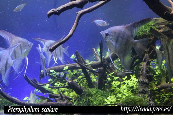 Pterophyllum scalare, pez ángel escalar