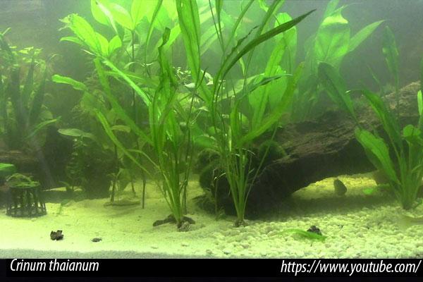 Plantas naturales para el acuario de aguas duras y alcalinas