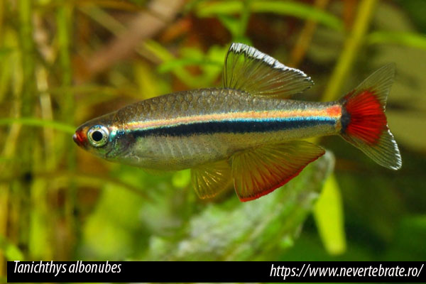 Tanichthys albonubes, el falso neón de agua fría