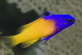 Gramma loreto, pez para el acuario comunitario