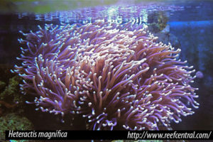 Heteractis magnífica, anémonas género Heteractis
