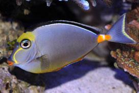 Naso lituratus, pez unicornio de cuchillas amarillas