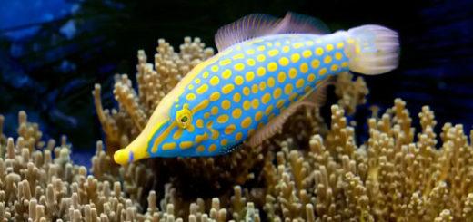 Oxymonacanthus longirostris, pez lima arlequín, especializado en pólipos de Acropora