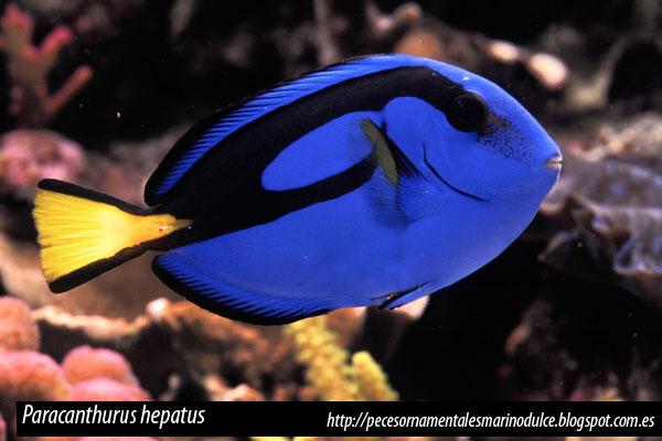 Paracanthurus hepatus, cirujano azul