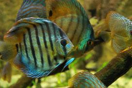 Plantas con peces Disco del género Symphysodon