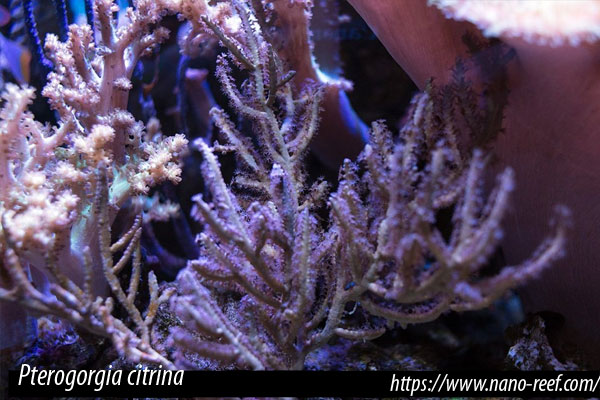 las gorgonias fotosintéticas criadas en cautividad se adaptan mejor al acuario y al estrés del transporte.