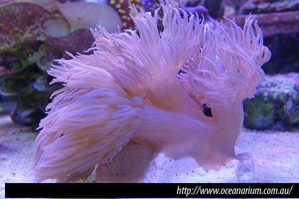 Reproducción asexual de corales marinos