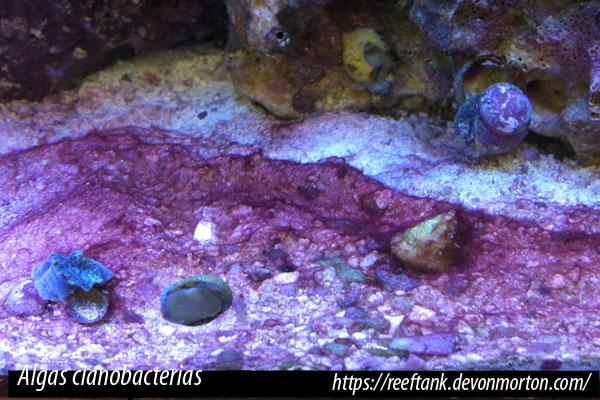 Las cianobacterias son comunes en las condiciones de desequilibrio químico en acuarios nuevos o en maduración