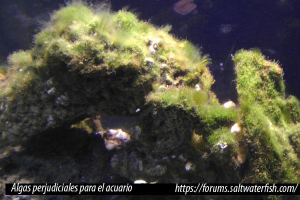 Algas perjudiciales para el acuario marino