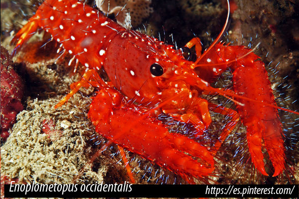 Enoplometopus occidentalis – Langosta roja enana