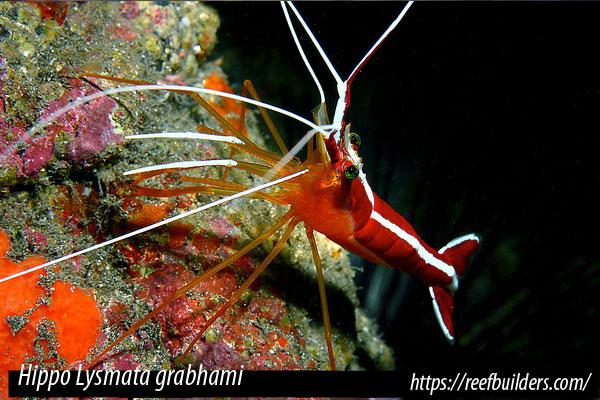 Hippo Lysmata grabhami – Gamba rayada o camarón limpiador