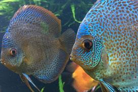 El agua perfecta para mantener peces Disco