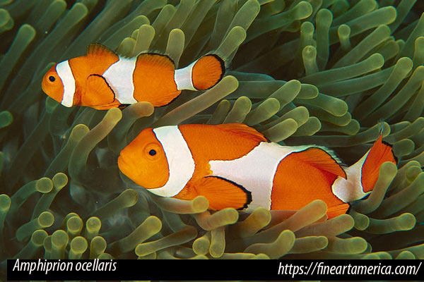 Peces payaso Amphiprion percula y A. ocellaris (falso percula) diferencias