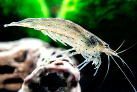 Caridina multidentata, pequeñas gambas para el acuario de agua dulce