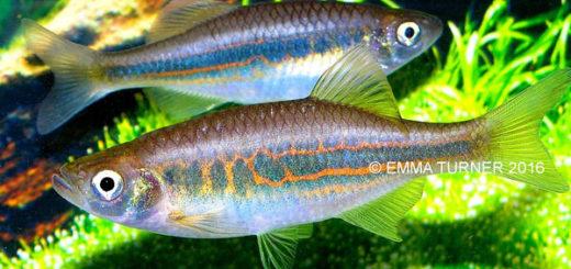 Danios y Devarios, cíprinidos en nuestro acuario
