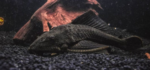 Hypostomus Plecostomus, el gran pez come algas.