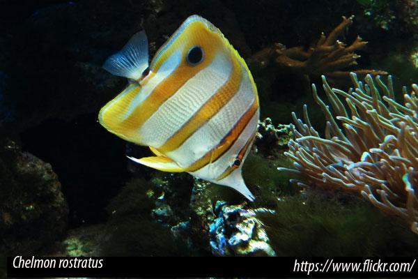 Chelmon rostratus, pez mariposa de difícil adaptación