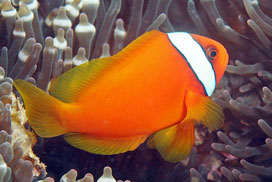 Amphiprion frenatus o pez payaso rojo