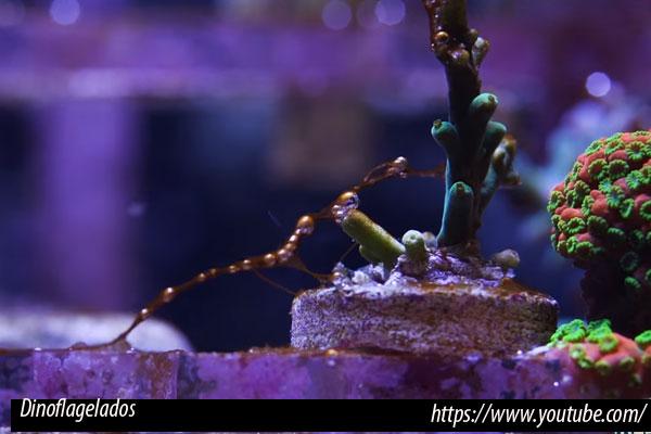 Algas dinoflageladas en el acuario
