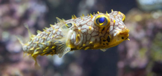 Peces espinosos marinos, peces erizo
