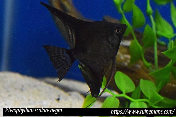 El Pterophyllum scalare negro presenta una cría dificultosa siendo difícil encontrar ejemplares con las aletas perfectas. No se debe cruzar escalares de este tipo.
