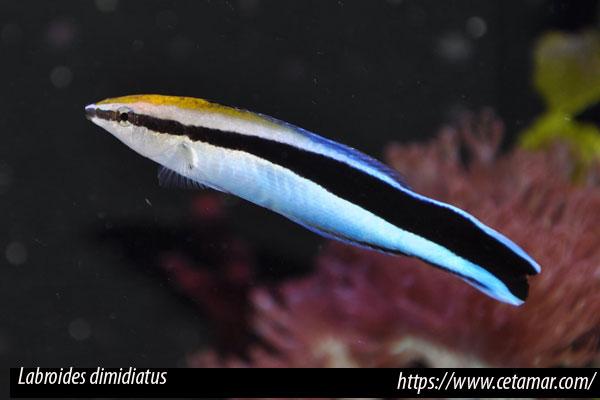 Labroides dimidiatus, lábrido limpiador de línea azul (Valenciennes, 1839)