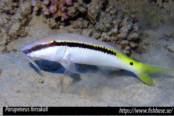 Parupeneus forsskali, (Fourmanoir & Guézé, 1976), salmonete del Mar Rojo