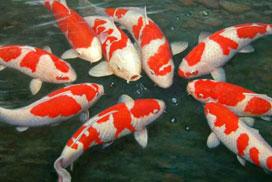 Por qué enferman los peces de acuario?