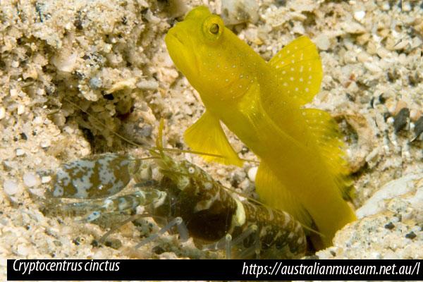 Cryptocentrus cinctus, Gobio con camarón Alpheus