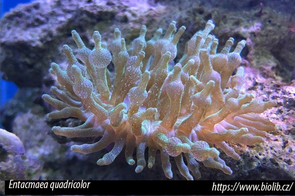 Entacmaea quadricolor, anémona burbuja