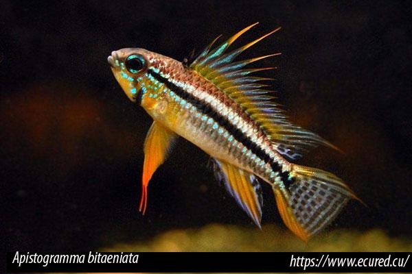 Compatibilidad intraespecífica entre peces de la misma especie