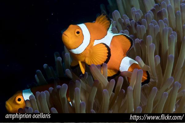 Compatibilidad peces del Mediterráneo con peces marinos tropicales
