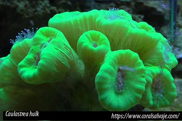 Caulastreas, coral lps de sencillo mantenimiento