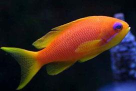 Género Pseudanthias, P. squamipinnis, Percas del Coral