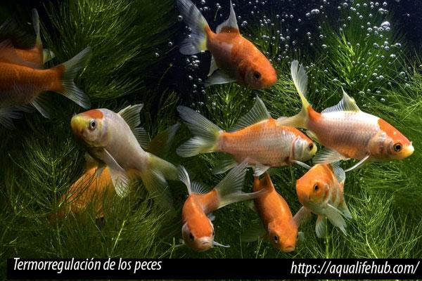 Metabolismo de los peces, Termorregulación