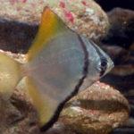 Monodactylusargenteus, pez luna de plata