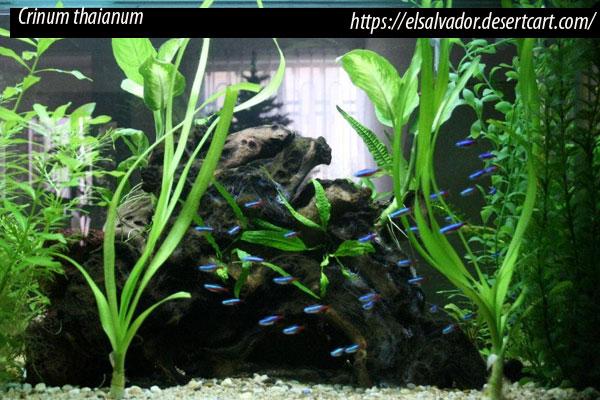 Género Crinum, Crinum thaianum