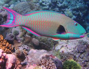 Scaridae, Escaros, peces loro