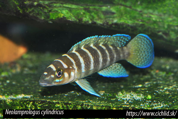 Neolamprologus cylindricus, Staeck & Seegers, 1986