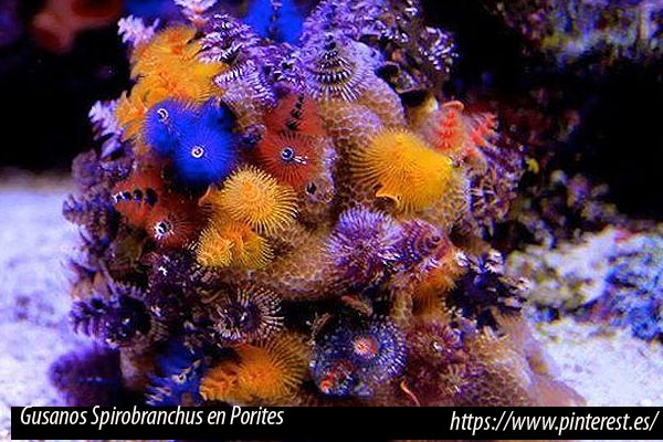 Porites, coral duro simbionte con gusanos Spirobranchus