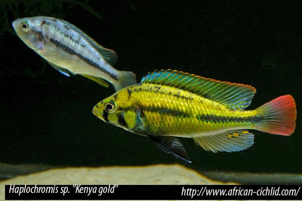 "Haplochromis sp. ""Kenya gold"""