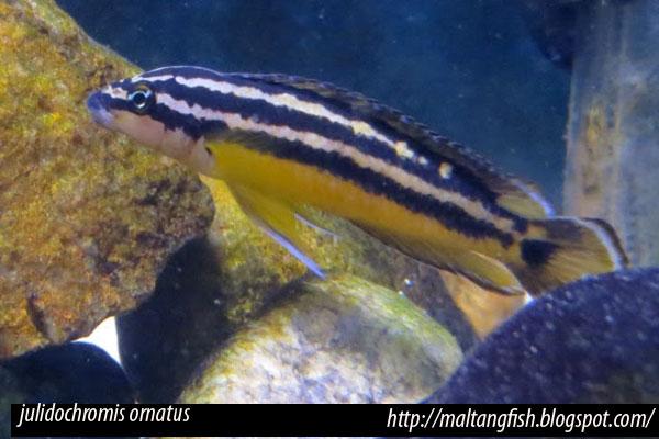 Julidochromis ornatus, cíclido de reproducción comunal del Tanganika