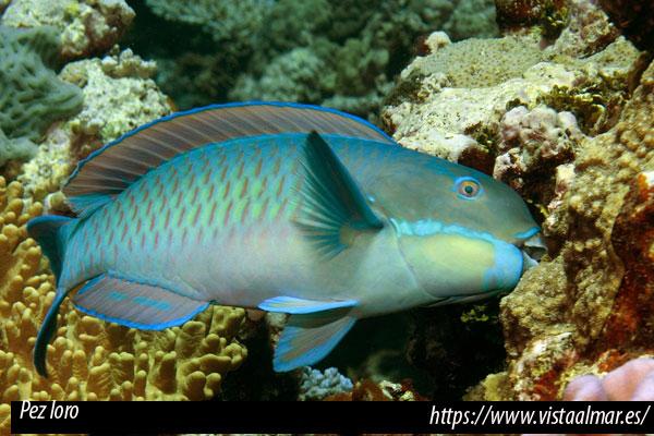 Peces marinos fitófagos con necesidades vegetales en el acuario