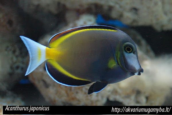 Acanthurus japonicus, pez cirujano de nariz blanca