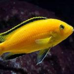 Labidochromis caeruleus, Cíclido amarillo eléctrico del Malawi
