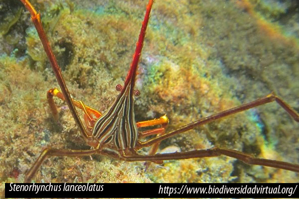 Stenorhynchus lanceolatus, cangrejo araña lanceolado, Brulle, 1837