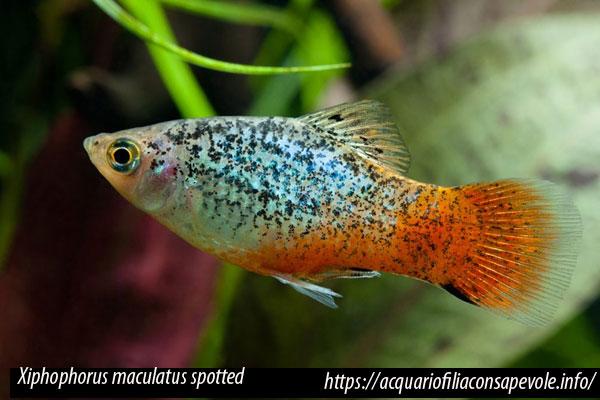 Xiphophorus maculatus spotted