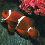 Peces payaso marinos más populares